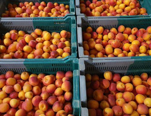 Nos abricots en mode Bio!
