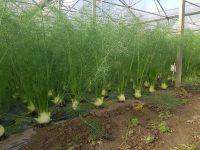 Plantation fenouil